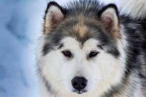 assurance chien husky sibérien