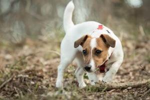 assurance chien pour jack russel