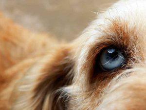 Un oeil sain de chien