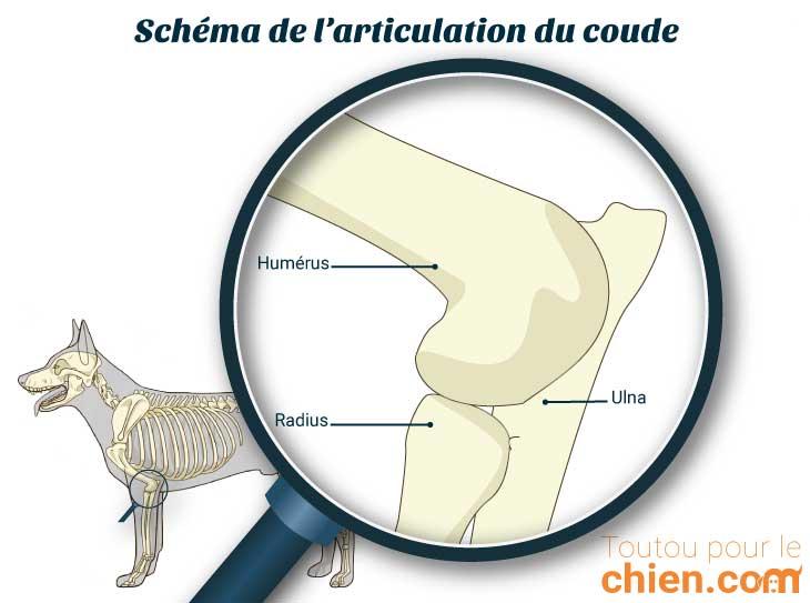 Schéma de l'articulation du coude du chien