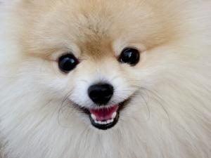 assurance chien spitz nain