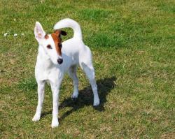fox terrier race de chien