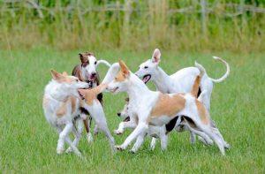 faire cohabiter plusieurs chiens