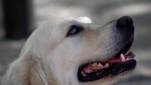 le labrador un chien souvent obèse