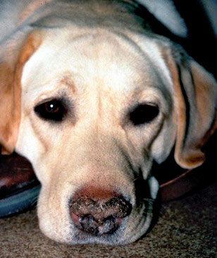 Labrador atteint de parakératose nasale héréditaire