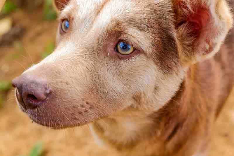 alopécie du chien