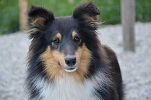 race de chien berger des shetland