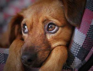 dépression chez le chien