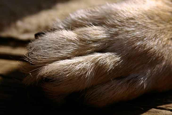 La pododermatite du chien