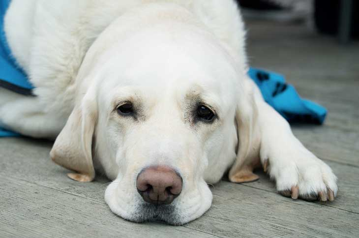 La pyélonéphrite chez le chien