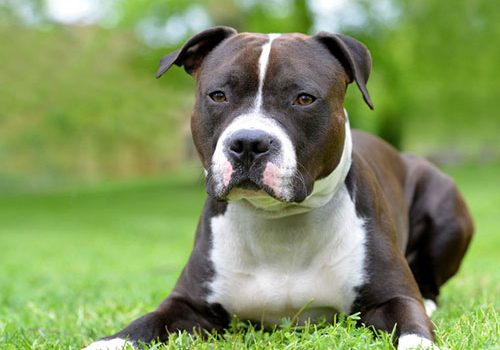 American Staffordshire Terrier Education Caractere Sante Budget Prix