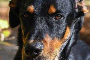 assurance chien beauceron