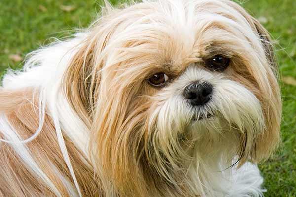assurance chien pour shih tzu