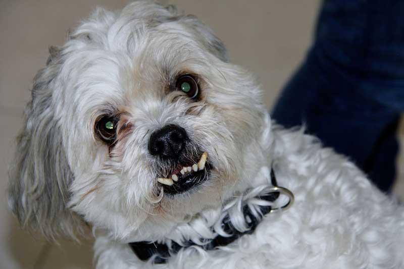 Un chien prognathe