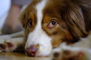 Le priapisme du chien