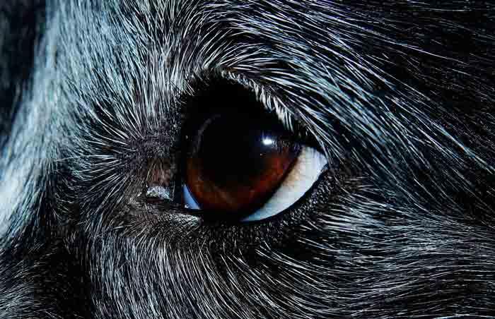 La kératite du chien