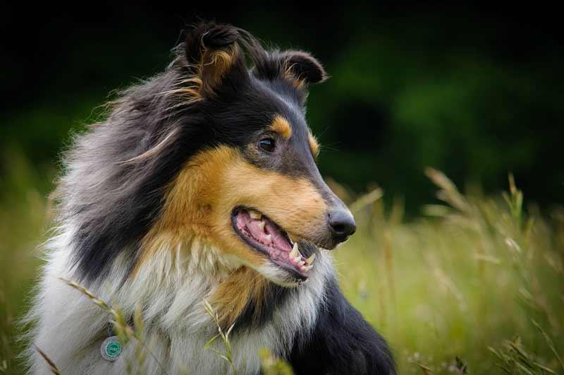 Le lupus du chien