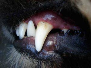 La gingivite du chien
