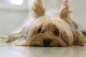 assurance chien yorkshire