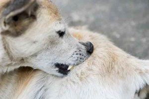 Les boutons blanc du chien