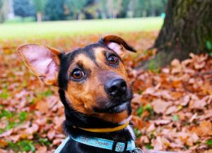 L'othématome du chien