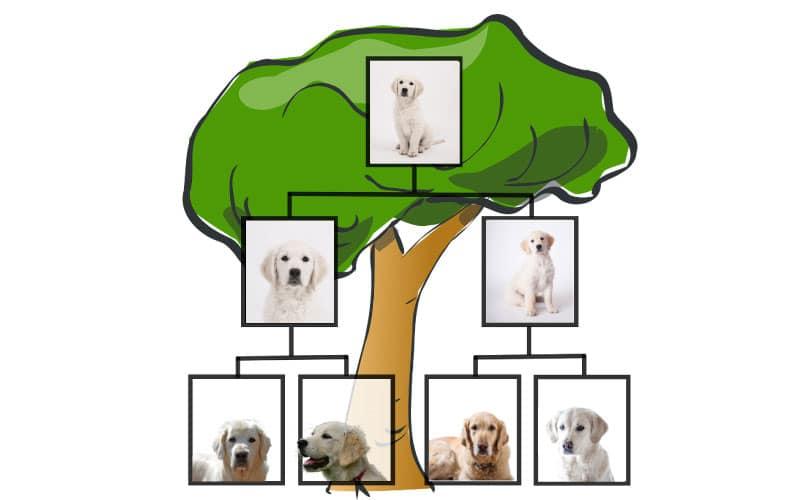 Le pedigree du chien