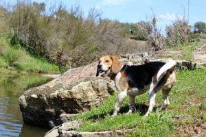 Le Test d'Aptitude naturelles du chien