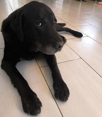 Congo le Labrador
