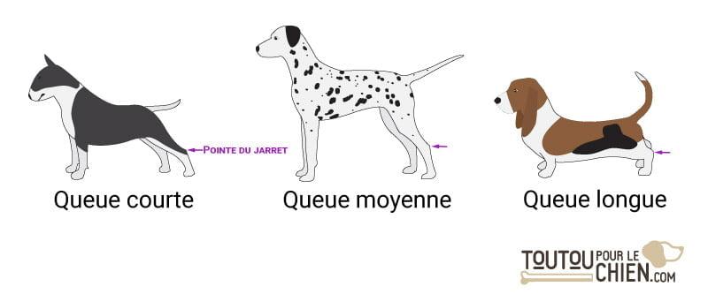 Longueur de la queue du chien