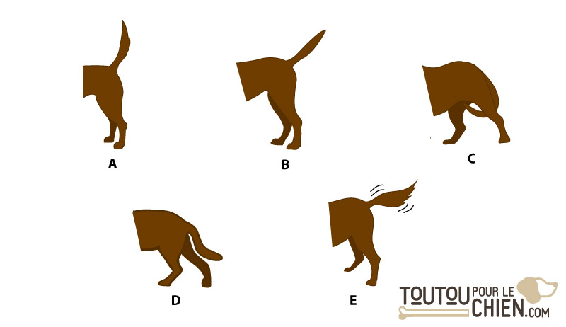 Les positions de la queue du chien