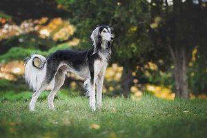 les races de chiens rapides