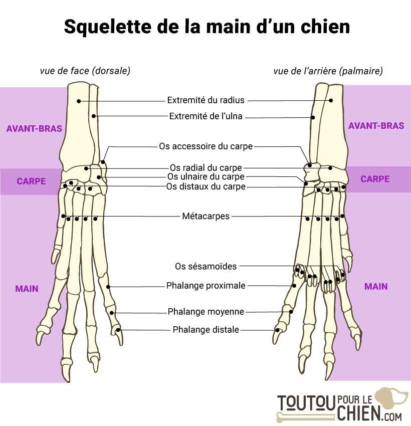 Squelette d'une main de chien