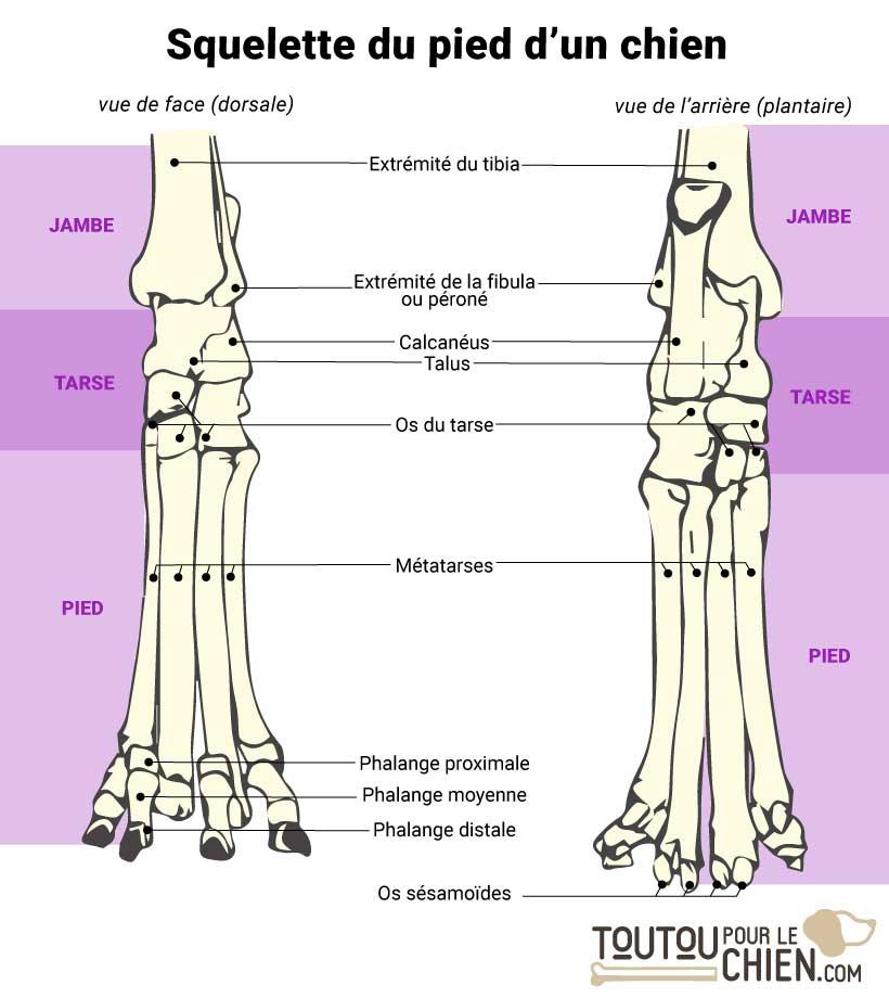 Squelette d'un pied de chien