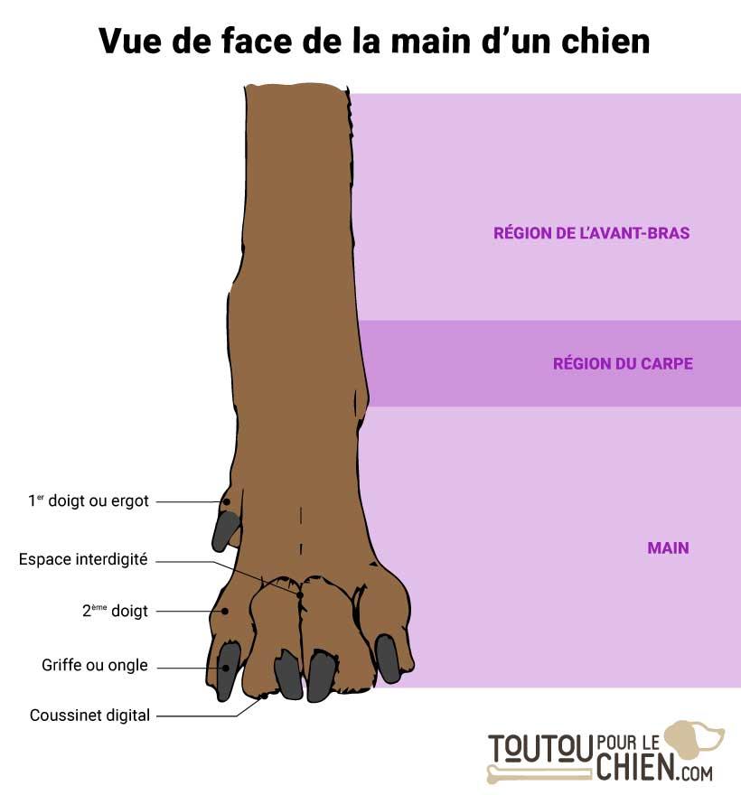 Main de chien vue de face