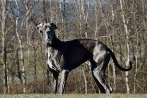 Le dogue allemand le plus grand chien au monde