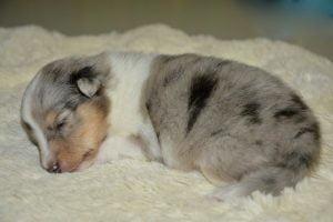 La durée de la grossesse chez la chienne