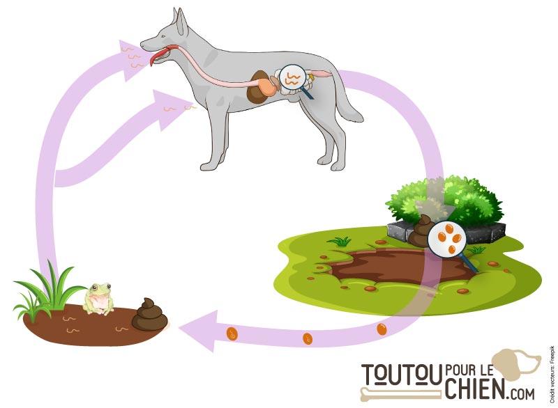 Le cycle de vie des ankylostomes