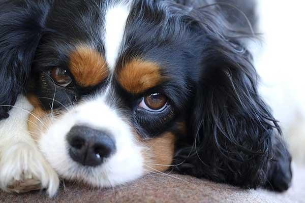 races de chiens calmes