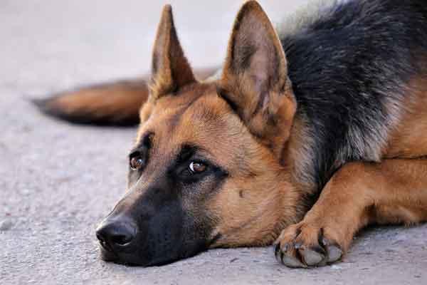 apprendre à son chien la garde