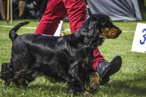 Eduquer son chien pour une exposition canine