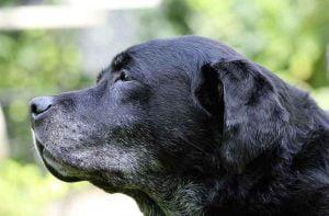 Les maladies de la prostate du chien