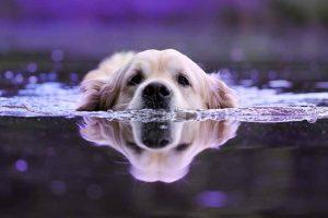 Les chiens qui aiment l'eau