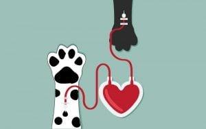 La transfusion de sang chez le chien