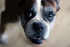 Les tumeurs testiculaires du chien