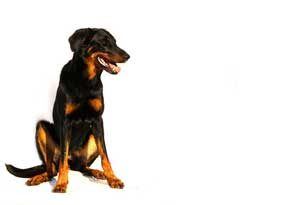 Race beauceron