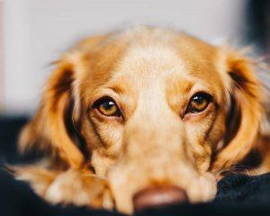 Le cancer du foie chez le chien