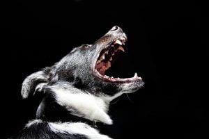 La dysplasie temporo-mandibulaire du chien
