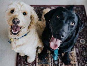 Elever plusieurs chiens ensemble