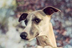 L'hémangiosarcome chez le chien
