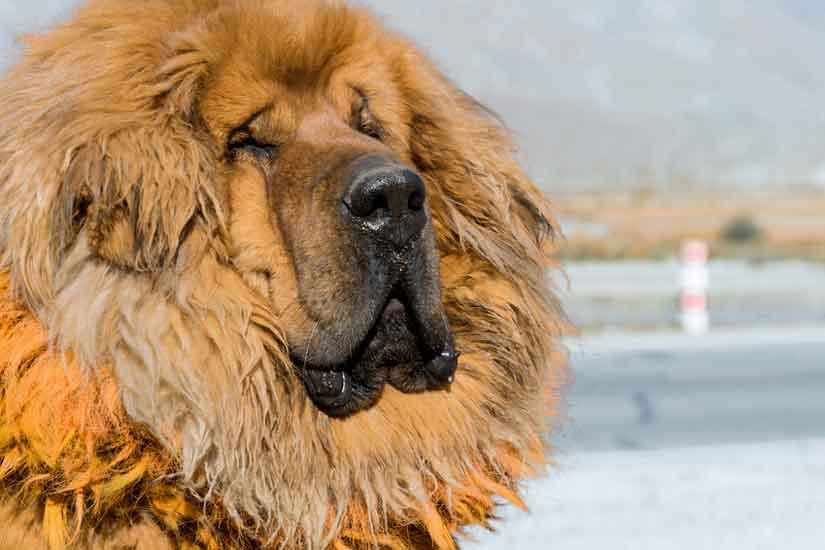 Un Mastiff Tibétain